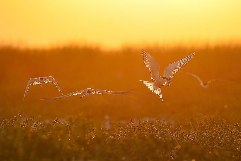 燕鸥  (摄影)