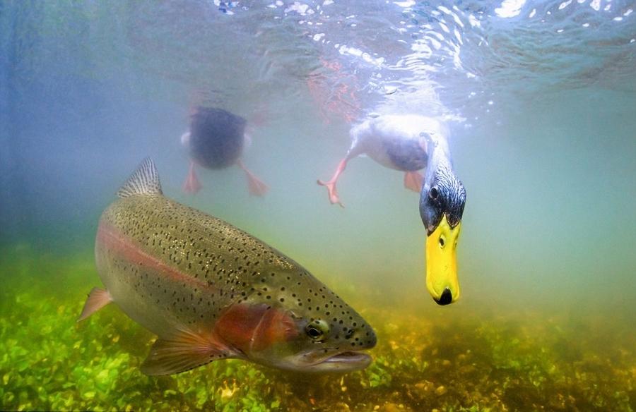 英国摄影师拍野鸭与虹鳟鱼夺食精彩瞬间